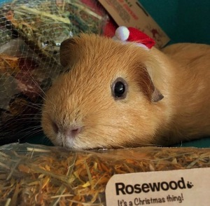 Slincypig feeling festive with his Rosewood Naturals Christmas Stocking