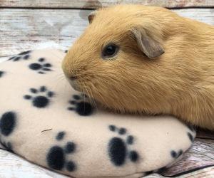 Snugglesafe Heat Pad Guinea Pig Review
