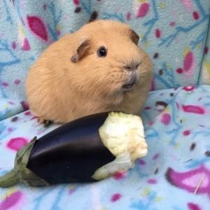 Can Guinea Pigs Eat Aubergine / Eggplant?