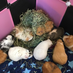 The Burgess Hay was very popular with our large herd of Guinea Pigs.