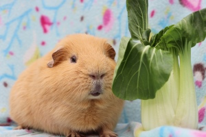 Can Guinea Pigs eat Bok Choy?
