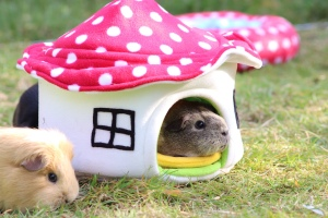 Squidgypigs: Doughnut enjoying her house.