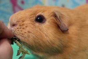 Handfeeding guinea pig