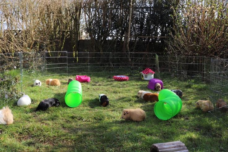 Squidgypigs : big guinea pig run / cage.