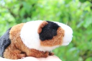 Atlas the travelling Guinea Pig