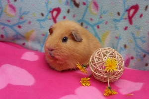 Can Guinea Pigs eat Dandelions?
