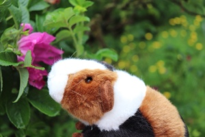 Atlas the travelling Guinea Pig