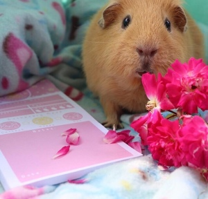 Guineapig Wheekly Health Pad Review