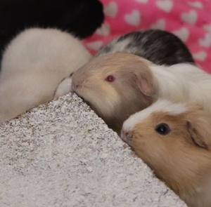 Can Guinea Pigs eat Coconut? – Squidgypigs